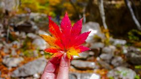 Red maple leaf on hand during Autumn season royalty free stock photography