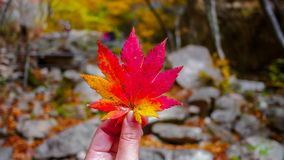 Red maple leaf on hand during Autumn season stock image
