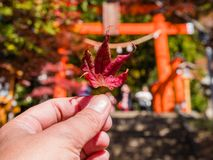 Red maple leaf. Hand holding Red maple leaf stock photos
