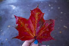 Red maple Stock Photos