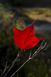 Red maple leaf Royalty Free Stock Images