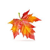 Red maple leaf isolated Stock Photography