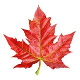 Red maple leaf isolated Stock Image