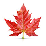Red maple leaf isolated Royalty Free Stock Photo