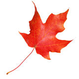 Red maple leaf isolated on white background. Fall Stock Photos
