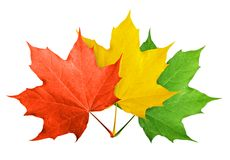Red maple leaf isolated stock images