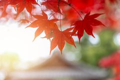 Red Maple Leaf in Japan Autumn. Season Nature Background stock image