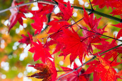 Red maple leaf in Japan during Autumn Season between September to November stock photo