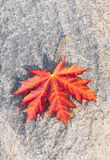 Red maple leaf. Large red maple leaf with tiny water bubbles on a rock Stock Photos