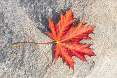 Red maple leaf. Large red maple leaf with tiny water bubbles on a rock Stock Image