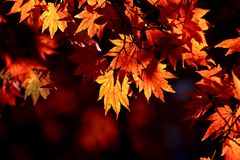 Red maple leaf lighten in high contrast of Japan during Autumn Season. Between September to November every year stock photos