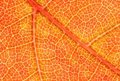 Red Maple Leaf Macro Stock Images
