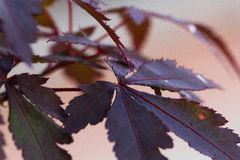 Red maple leaf2 Royalty Free Stock Images