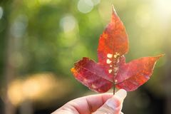 Red maple leaf in man hand at a rainforest.Thailand.Copy space b stock photography