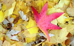 Red maple leaf Stock Photos