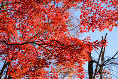 Red maple leaf in mid autumn Japan Stock Photo
