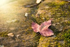 A red maple leaf on a mossy rock in a rainforest.Thailand.Copy s. Pace background, Use for website banner background, backdrop, montage menu Royalty Free Stock Images