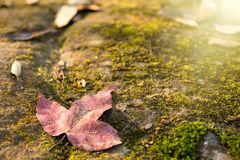 A red maple leaf on a mossy rock in a rainforest.Thailand.Copy s. Pace background, Use for website banner background, backdrop, montage menu Royalty Free Stock Photography