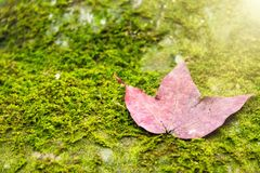 A red maple leaf on a mossy rock in a rainforest.Thailand.Copy s. Pace background, Use for website banner background, backdrop, montage menu Royalty Free Stock Photo