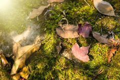 A red maple leaf on a mossy rock in a rainforest.Thailand.Copy s. Pace background, Use for website banner background, backdrop, montage menu Stock Photography