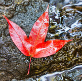 Red maple leaf. In national park, thailand Stock Photos