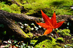 Red maple leaf. With nice background Stock Photos