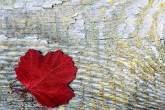 Red maple leaf Stock Images