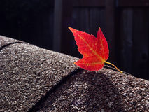 Free Red Maple Leaf On Asphalt Shingles Royalty Free Stock Photography - 45505247