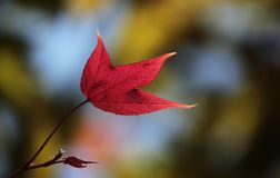Red Maple Leaf. A red maple leaf, Photo taken in southern China. Spring stock image