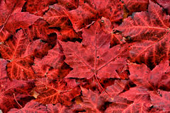 Red Maple Leaf Pile. A detailed close up of real fallen autumn red maple leaves in a pile royalty free stock photography