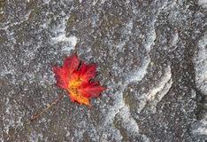 Red maple leaf. Royalty Free Stock Images