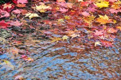 Red maple leaf on river Stock Photography