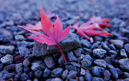 Red maple. Leaf on rock Royalty Free Stock Image