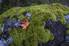 Red maple leaf. On the rock covered with moss Royalty Free Stock Photos