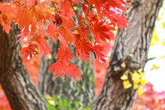 Red maple leaf , South Korea autumn Stock Photo