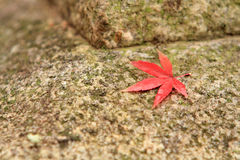 Red maple leaf on stone background. A red Japanese Maple leaf sitting on a granite block of stone in a Japanese garden with shallow depth of field and copy space Royalty Free Stock Images