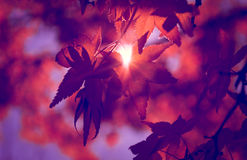 Red maple leaf. Sunlight is entering through the irradiation of red maple leaves in autumn Stock Images