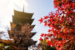 Red Maple leaf at Toji temple, Kyoto. Red Maple leaf with Toji wooden pagoda background at sunrise in autumn, Kyoto, Japan. Famous Kansai travel destination Stock Photography