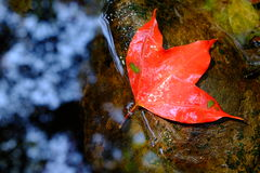A red maple leaf Royalty Free Stock Photos