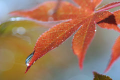 Red Maple Leaf with Water Drop Stock Photos
