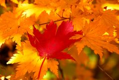 Red maple leaf on the yellow leaves Stock Images