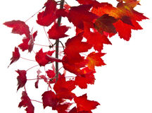 Red Maple Leafs Stock Photography