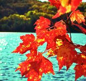 Canada red maple leafs Royalty Free Stock Images