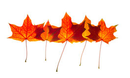 Red maple leafs Stock Image