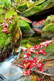 Red Maple leafs in deep jungle Stock Photos