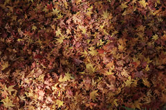 Red maple leafs on earth Stock Photos
