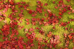 Red maple leafs on earth Royalty Free Stock Images