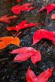 Red Maple leafs. In the stream Royalty Free Stock Image