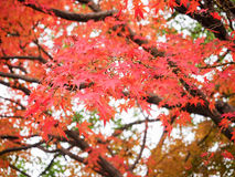 Red maple leave in autumn Royalty Free Stock Image