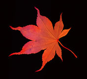 Red maple leave on black Stock Photography
